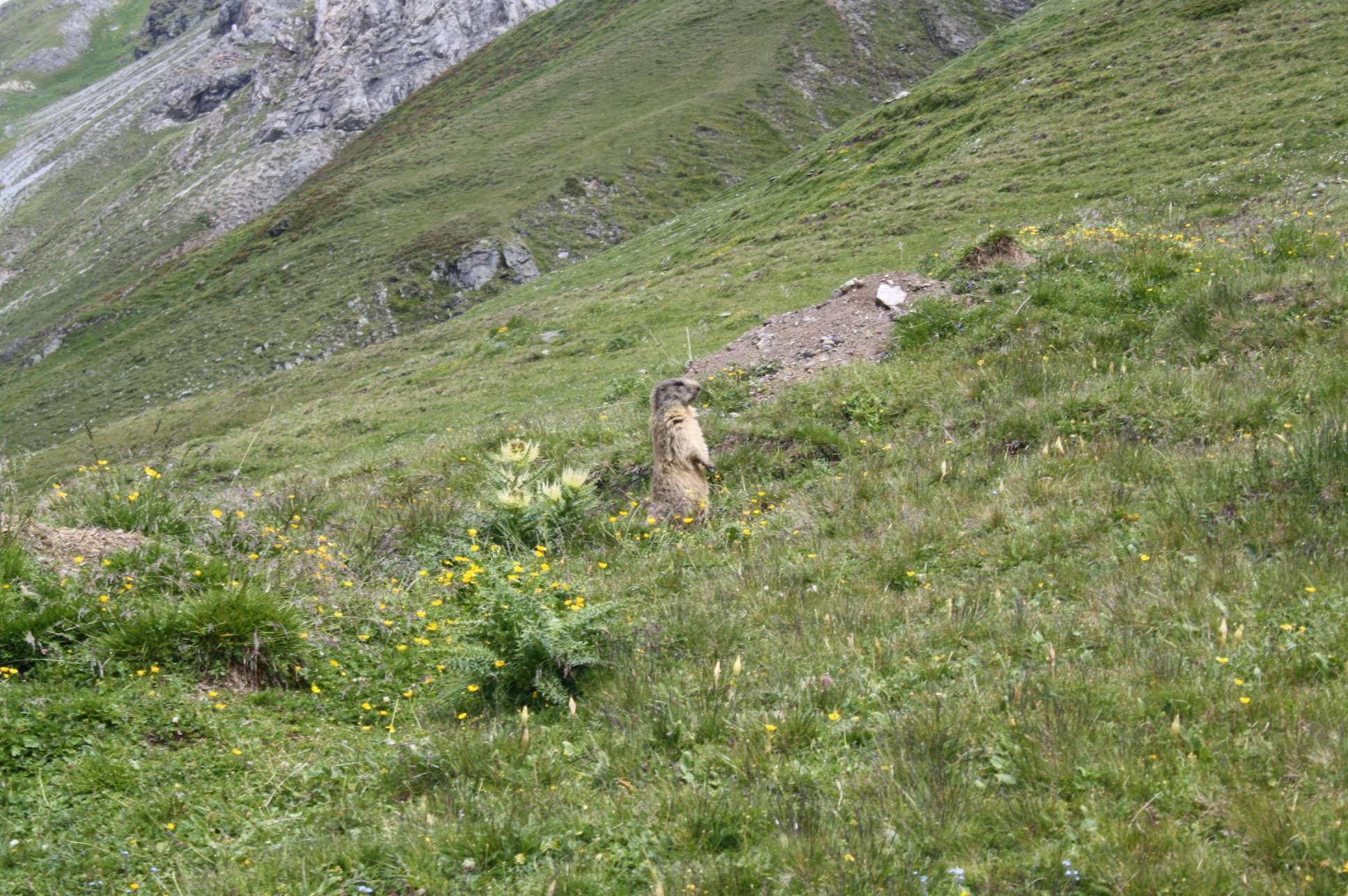Murmeltiere auf der Alp Sursass